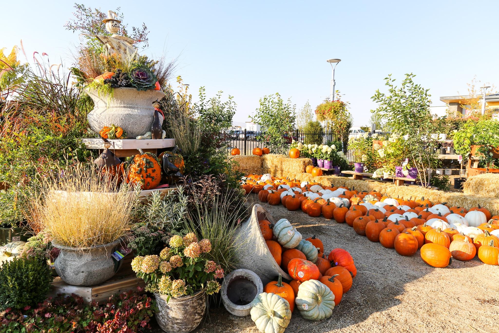 Pumpkins at Franz Witte